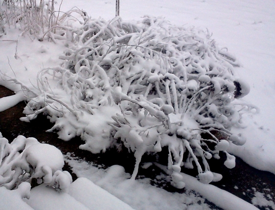 Bushes in Snow